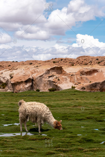 A llama (camelid native to South America) eating grass in the southwest of the altiplano in Bolivia