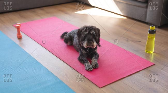 Dog lying on a yoga karimata in a living room