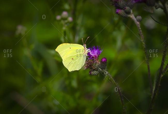 Common brimstone butterfly (Gonepteryx rhamni) perching on plant