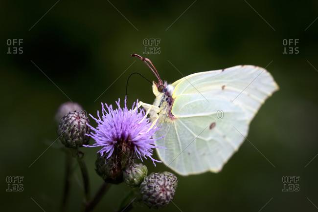 Common brimstone butterfly(Gonepteryxrhamni)perching on plant