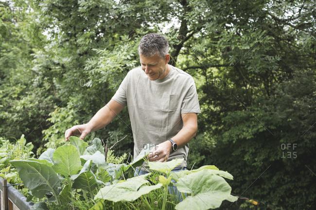 Smiling mature man examining vegetable plant at back yard garden
