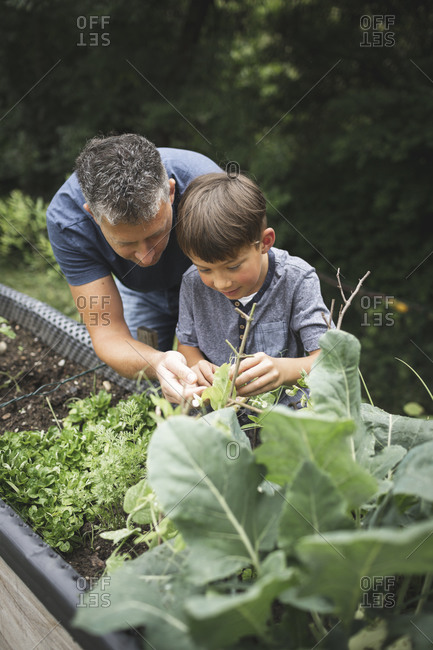 Mature man assisting son in gardening raised bed at back yard