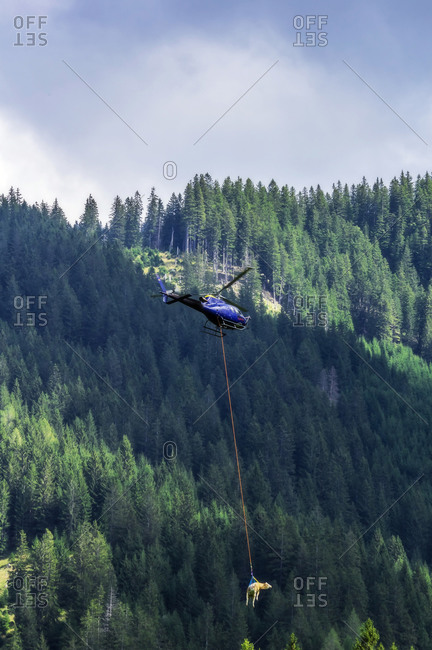 Helicopter transporting cow against forested mountain