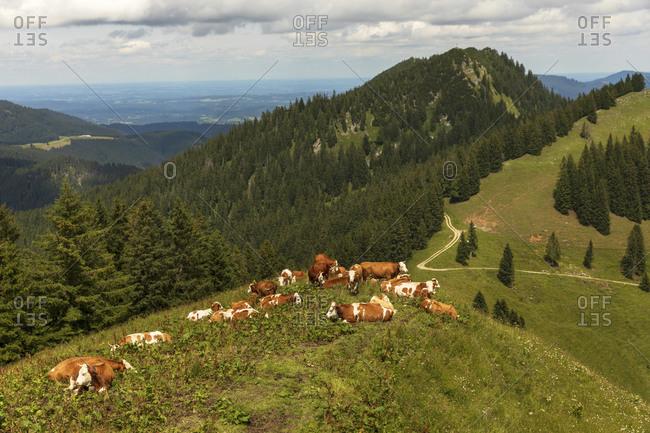 Herd of cows relaxing in alpine meadow during summer