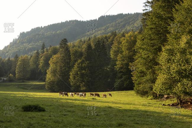 Herd of cows grazing in alpine meadow during summer
