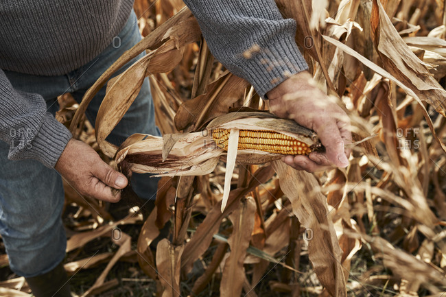 Farmer opening corn while standing at corn farm