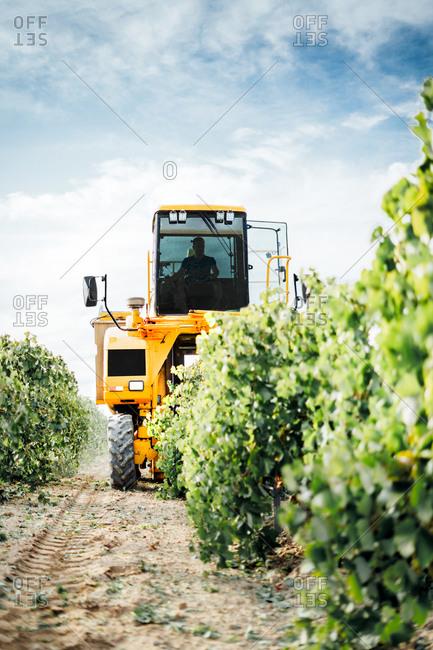 Mechanical grape harvester working in vineyard