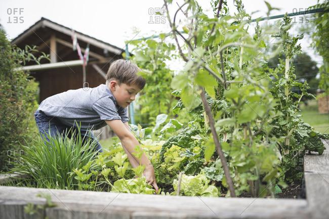 Boy gardening raised bed at back yard
