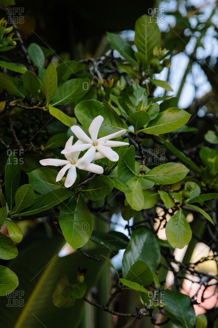 White flowers growing on a shrub outdoors in Hawaii