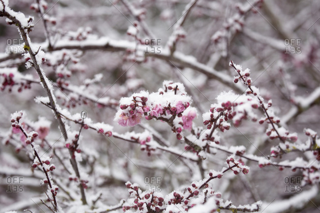 Late spring snow on blooming cherry blossoms, Victoria, British Columbia, Canada