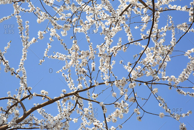 Low angle view of garden with white cherry blossoms at the Summer Palace, Beijing, China