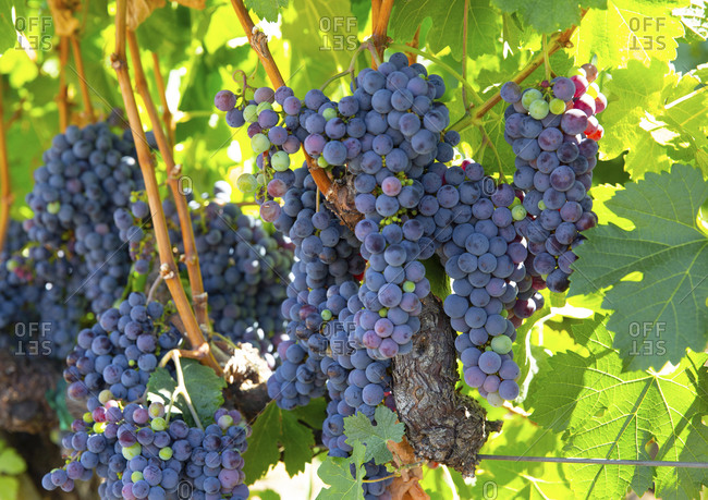 Napa valley grapes growing in a vineyard in California