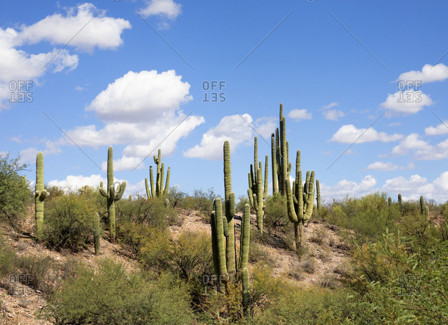 Saguaro desert with tall cacti in Tucson, Arizona