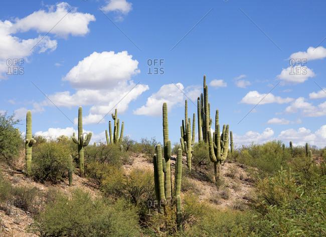 Saguaro desert with tall cacti in Tucson, Arizona