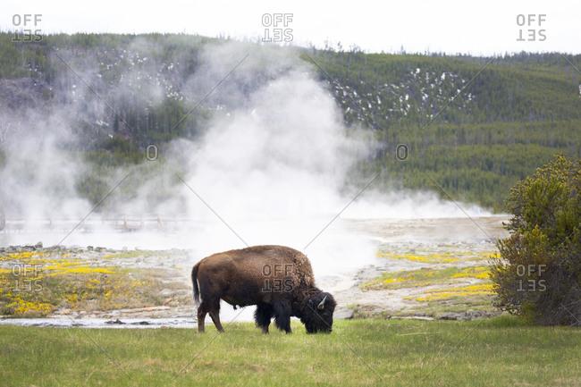 Buffalo grazing by geyser basin in Yellowstone National Park, Wyoming