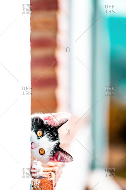 Black and white cat leaning out of the window