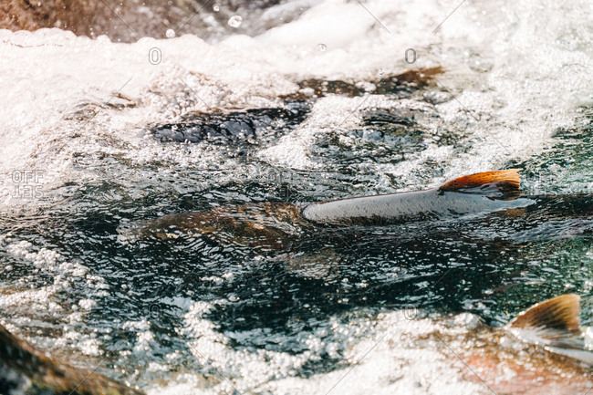 Closeup view of salmon fins sticking out of a pool of water on a river