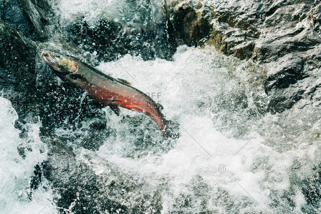 A coho salmon jumping up a waterfall to get to its spawning grounds