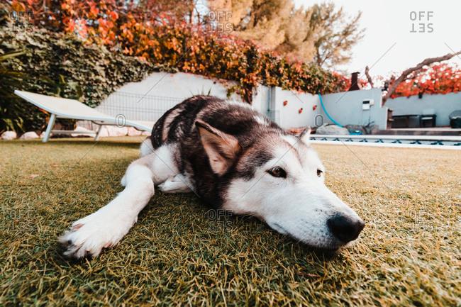 Husky breed dog lying on grass on a sunny day