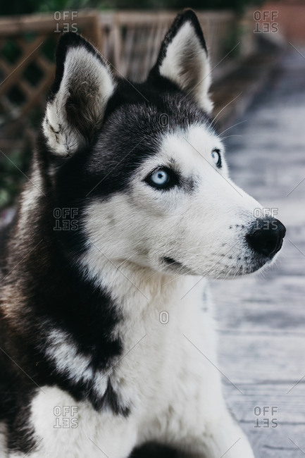 Husky breed dog staring in the foreground