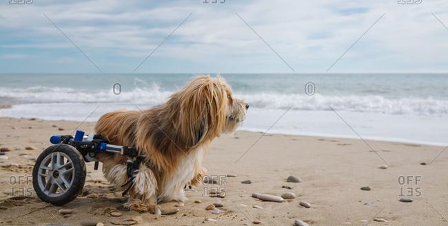 Dog in wheelchair on the beach