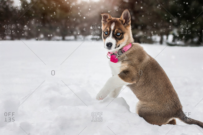 Alaskan husky puppy dog happy and playing in the cold winter snow