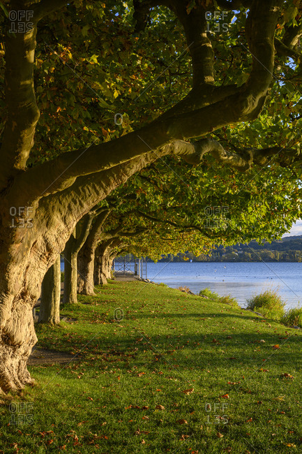 Germany- Baden-Wurttemberg- Radolfzell- Row of trees growing along shore of Lake Constance in early autumn