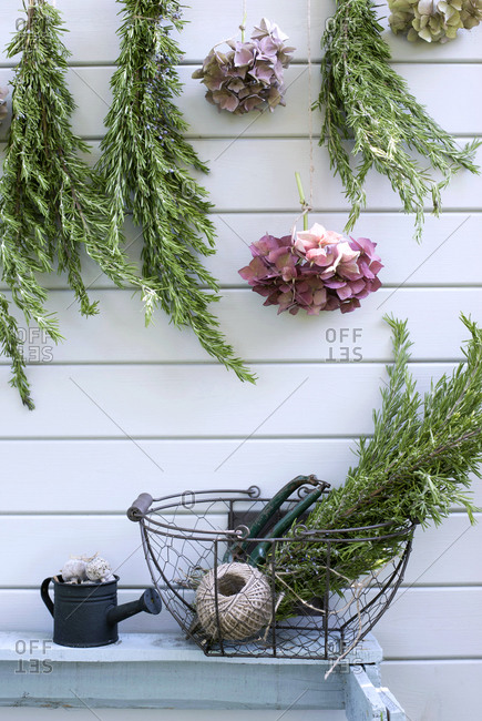 Hydrangeas and rosemary drying outdoors on garden shed