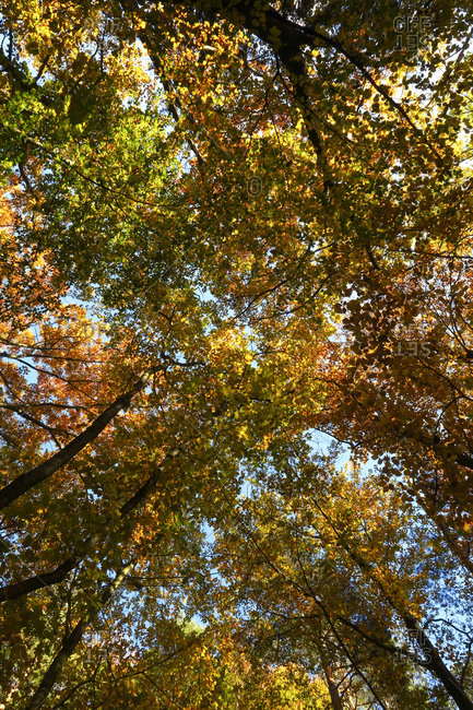 Canopy of autumn forest with many trees