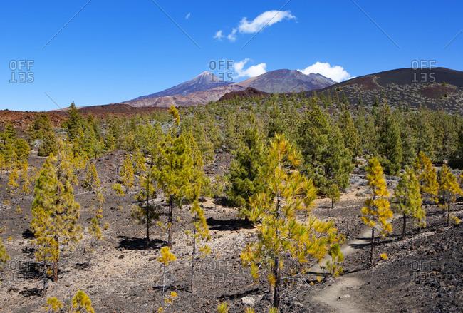 Autumn grove on Tenerife island