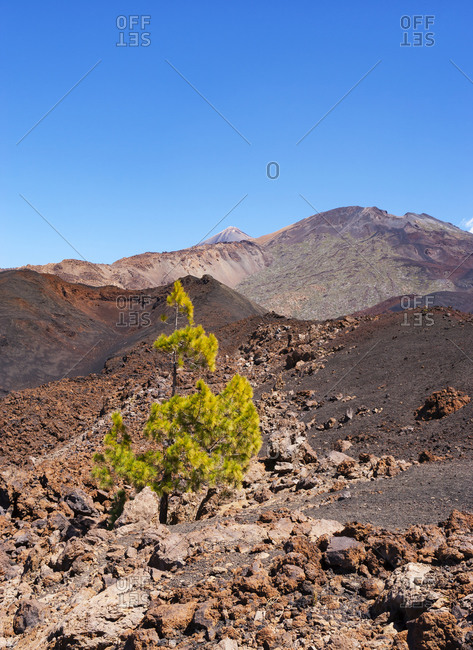 Single tree growing in brown volcanic terrain at Tenerife island