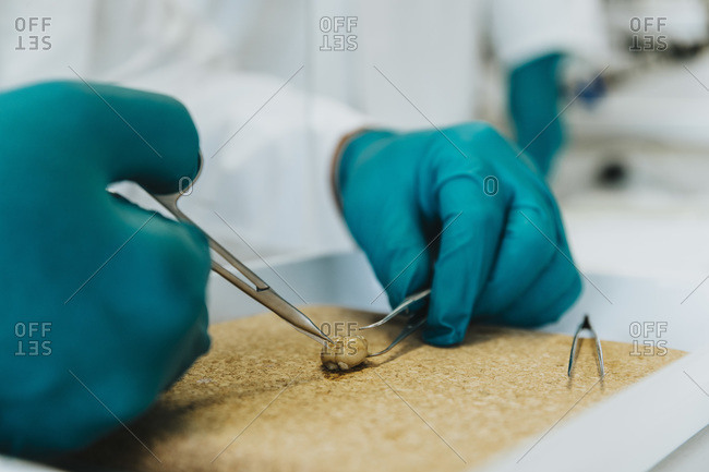 Close-up of scientist working on rodent brain at laboratory