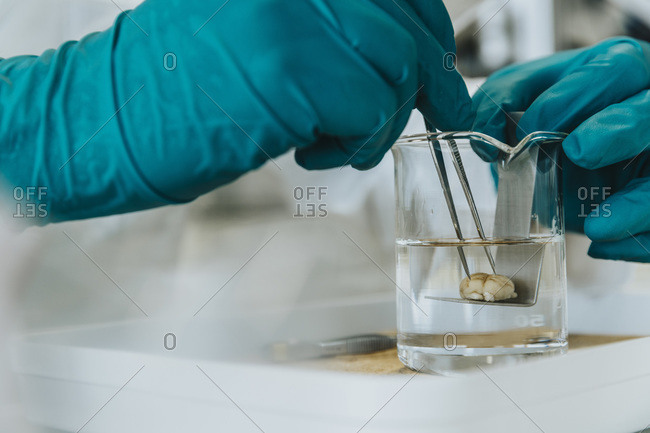 Close-up of scientist hands removing rodent brain from beaker through equipment at laboratory