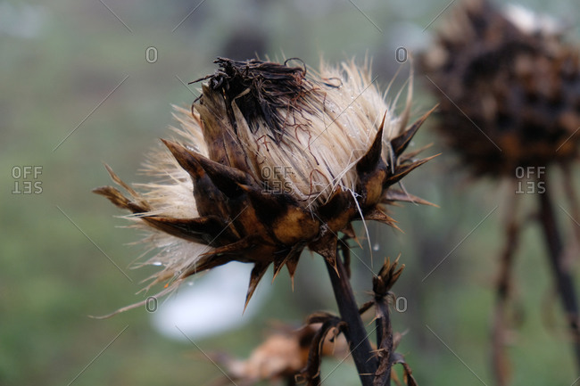 Dead and dried flower in winter close up
