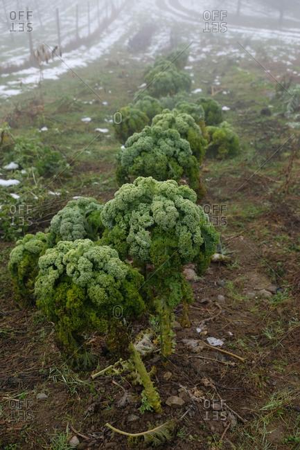 Overgrown kale plants rotting in a field in winter