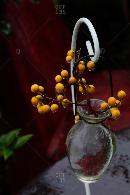 Oriental bittersweet vine in a glass vase hanging outside on shepherd's hook
