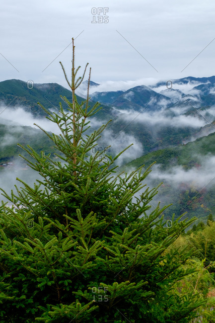 Lush green pine tree in foreground with cloud covered mountains in distance, Wakayama, Japan
