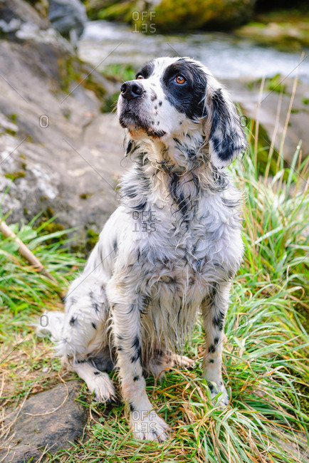 Adorable purebred dog with spotted fur sitting on grass near mountain and Casano river while looking up