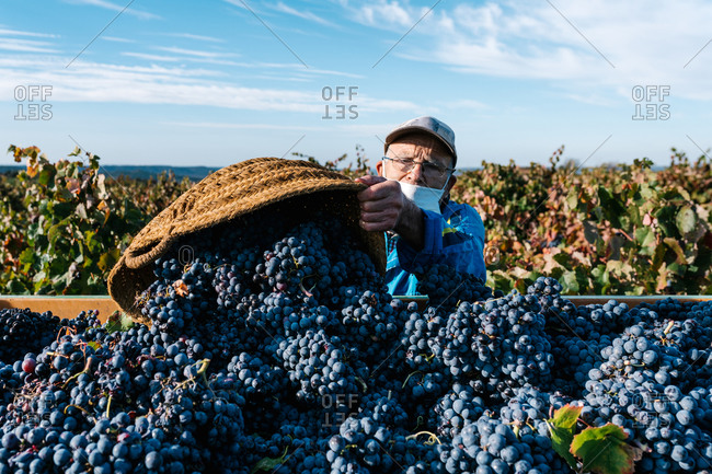 Elderly male winemaker with face mask filling container with fresh grapes wicker basket in countryside under blue cloudy sky looking at camera