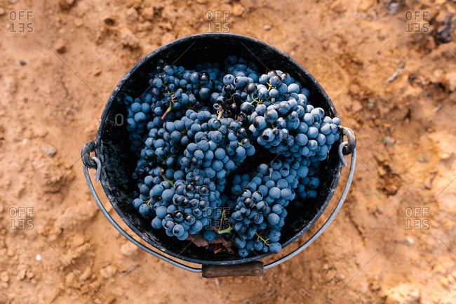 From above of metal bucket full of ripe tasty bunches of grapes on dry terrain