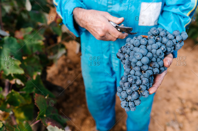 From above of crop unrecognizable male winegrower picking fresh grapes with pruning shears in vineyard