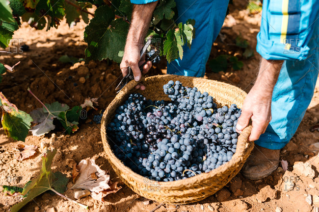 From above cropped unrecognizable male winegrower walking with wicker basket full of grapes on clay terrain