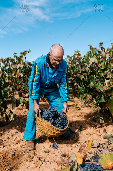 Elderly male winegrower walking with wicker basket full of grapes on clay terrain while looking away