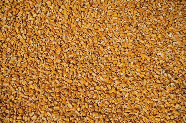 Top view of full frame background of pile of dry corn seeds stored in warehouse at factory