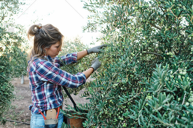 Side view of female farm worker in checkered shirt and gloves picking ripe green olives from tree branches during harvesting season in countryside