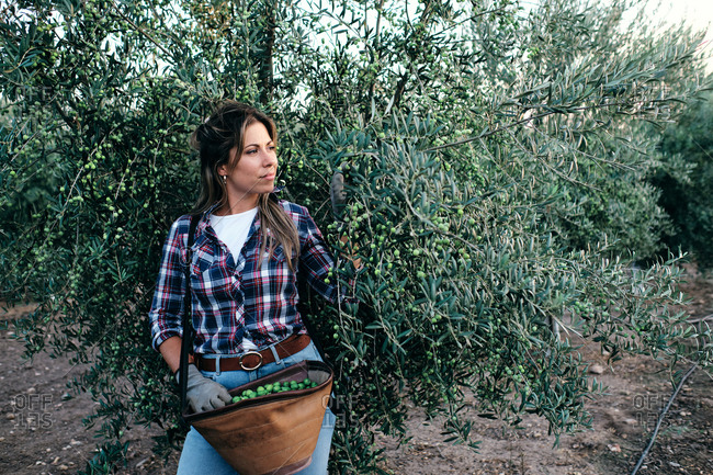 Female farm worker in checkered shirt and gloves picking ripe green olives from tree branches during harvesting season in countryside