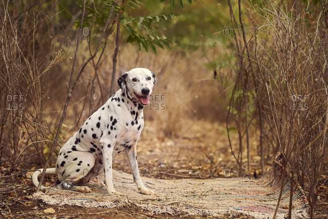 Funny purebred Dalmatian dog sitting on rug near dry grass in nature at daytime