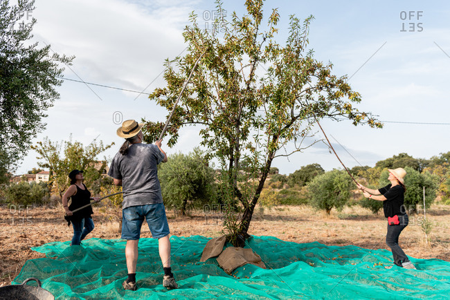 Full body farmers in casual summer wear knocking on almond tree by using wooden sticks while collecting nuts