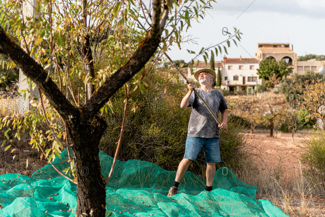Positive man wearing casual summer outfit and hat knocking almond tree by using long wooden stick during harvest season