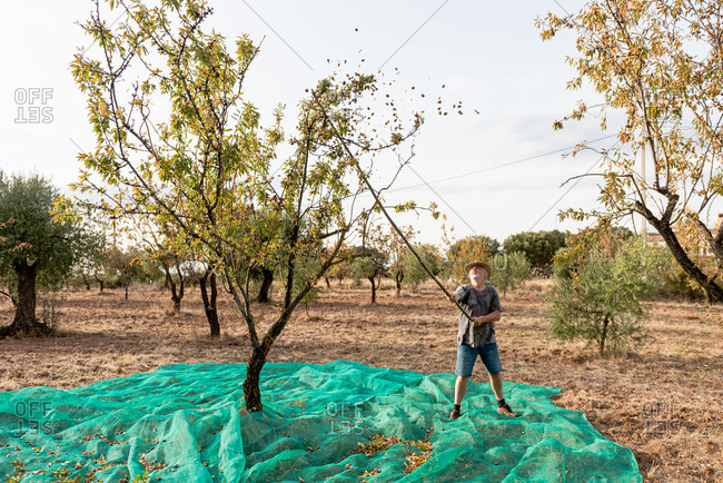 Aged man beating almond tree branches with stick and picking nuts in mesh in garden